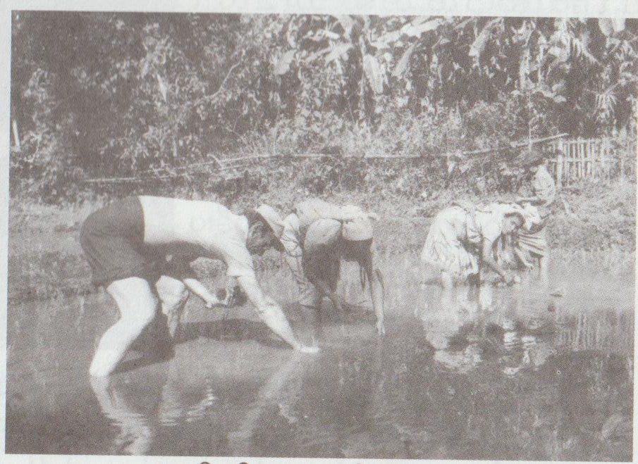 P. Quintard dans les rizières